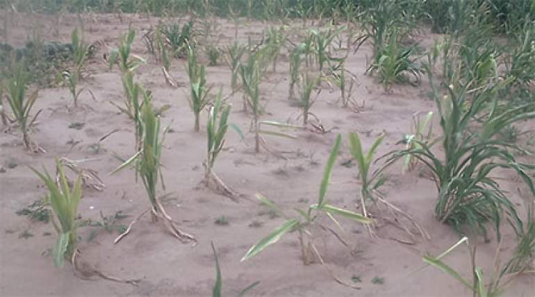 Msukwa said during the 2020/2021 farming season, all the seven districts under the Division were hit by dry spell