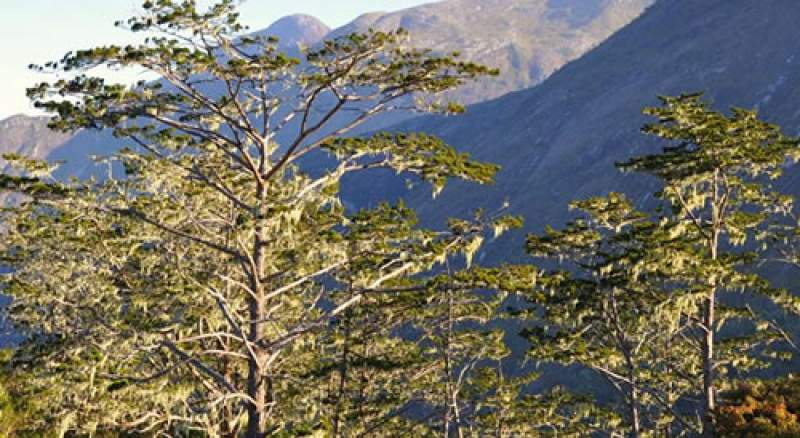 Mulanje Mountain is well known for exisence of cedar trees