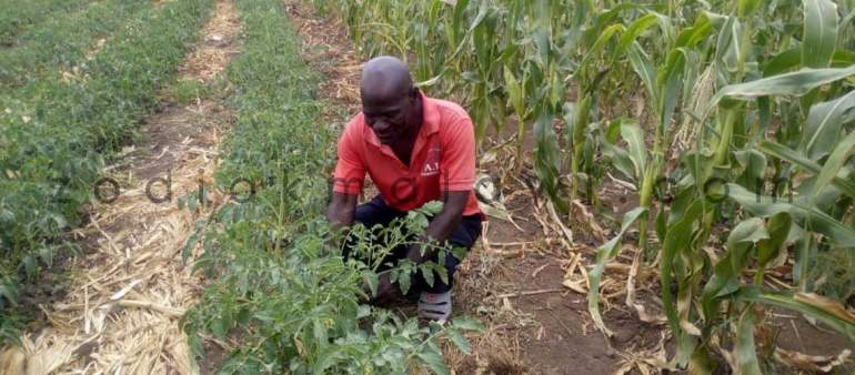Dowa Tobacco Farmers Making Huge Profits from Diversified Crop Production