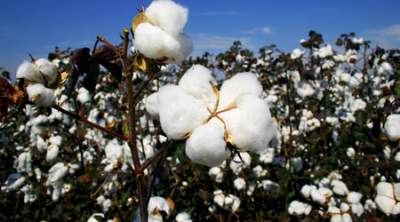 The farmers said that they were persuaded to give out their land to grow cotton with a promise that they will be paid monthly