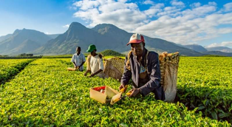 The country has about 18, 000 hectares of tea.